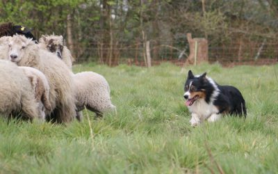 Schapentraining met Border Collies